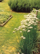see how pretty the garlic chives are in the late summer garden