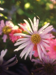 Michaelmas daisy or fall aster