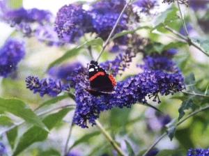 butterfly bush wbut