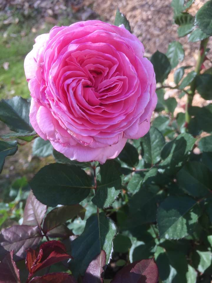 rose DA