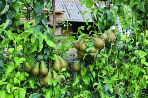Pear-trees