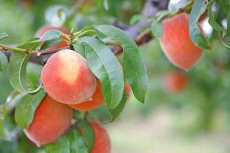 south-carolina-peaches.jpg.pagespeed.ce.UjdAmVHCbg